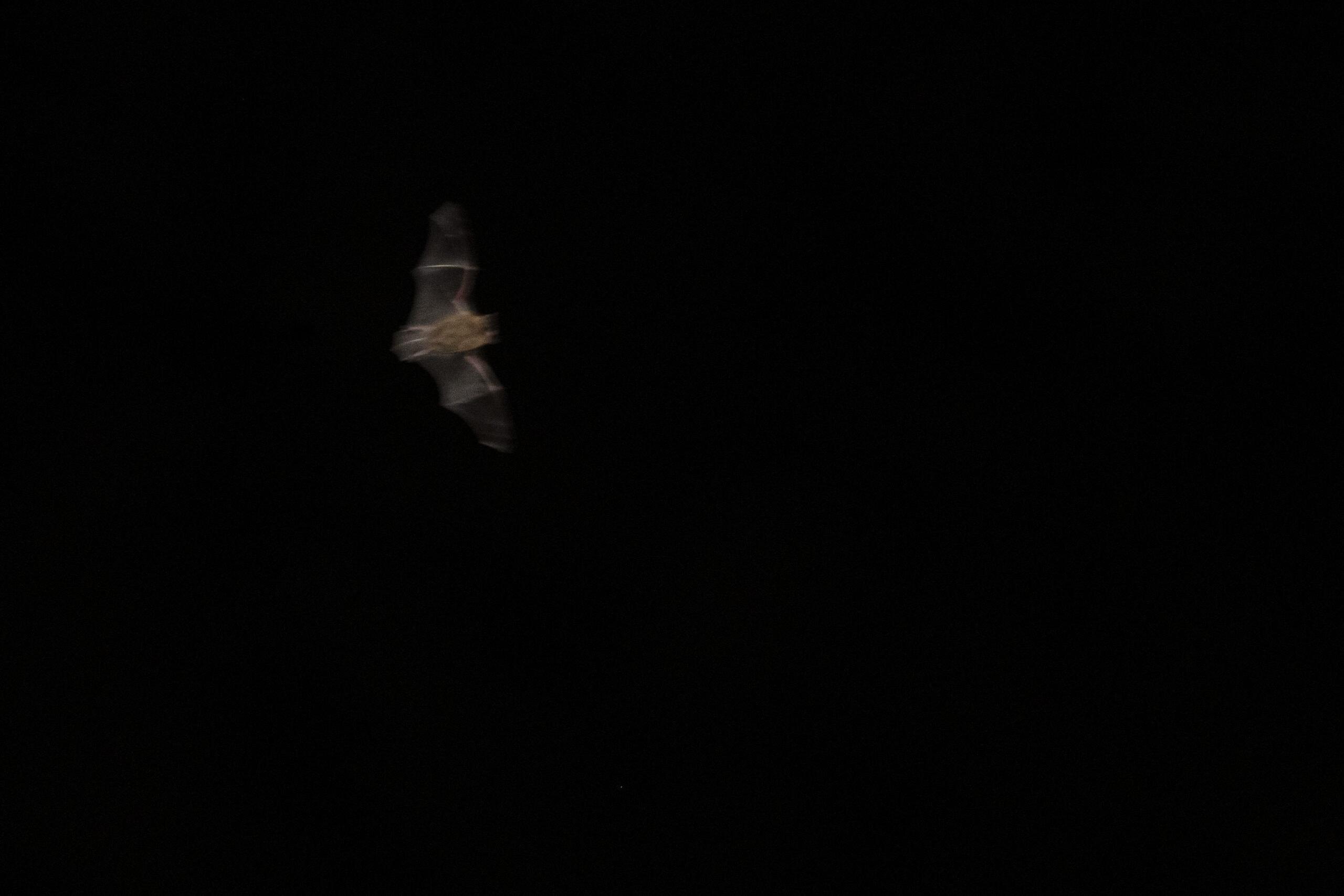 Fotografie-uitdaging: vleermuizen